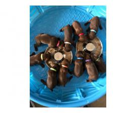 Purebred German Shorthaired Pointer Puppies for Sale
