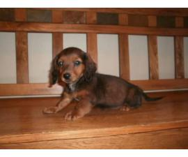 3 Females Mini Dachshund Puppies for Sale
