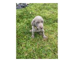 Blue and grey Weimaraner puppies