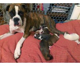 5 Pure breed boxer puppies available