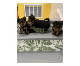 2 girls and a boy teacup Yorkie puppies