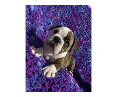 IOEBA registered Olde English Bulldog Puppies