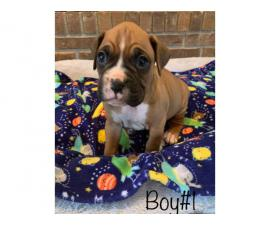 5 boys and 4 girls adorable Boxer puppies