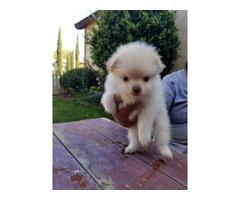 Pomeranian puppies needing a new home