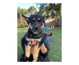 Males and females Shepsky puppies