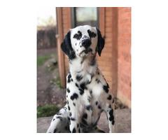 5 Dalmatian puppies for adoption