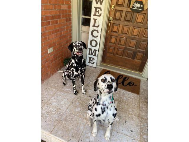 5 Dalmatian puppies for adoption in Iowa USA