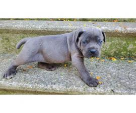 6 weeks old Cane Corso puppies for rehoming.