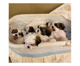 1 girl and 3 boys white and sable Shih Tzu puppies for sale