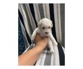 8 week old mini Poodles for adoption