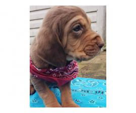 Seven Bloodhound Puppies Available