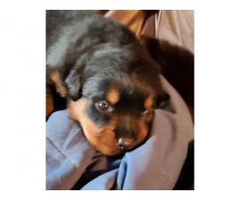 3 rottweiler puppies for sale
