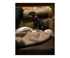 Female Doberman puppy