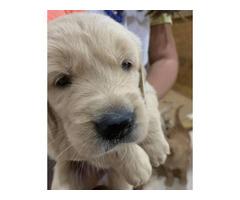 AKC registered Golden retriever puppies