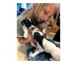 Three cheagle puppies available