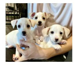 3 Cute Jack Chi Puppies