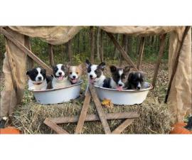 Litter of pretty Pembroke Welsh Corgi puppies