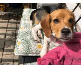 Female Beagle Puppy for rehoming