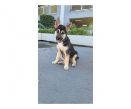 3 months old Shepsky puppy looking for the best family