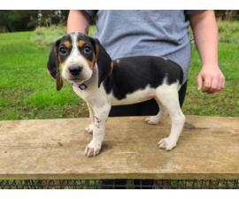 7 weeks old Coonhound puppies for sale