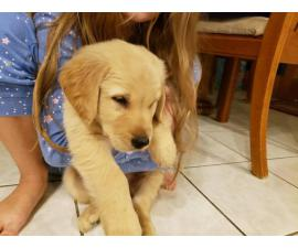 1 Golden Retriever Puppy Left