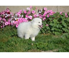 3 American Eskimo puppies for sale