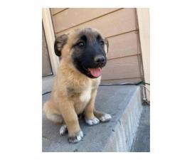3 Belgian Malinois Puppies available