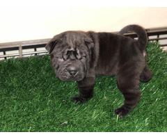 Black and Tan Sharpei Puppies