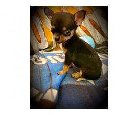 2 gorgeous Applehead Chihuahua puppies for sale