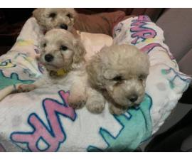 2 Maltipoo Puppies Left