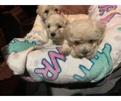 2 Maltipoo Puppies Left