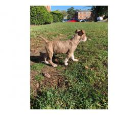 brindle pit bull puppy looking for a good home