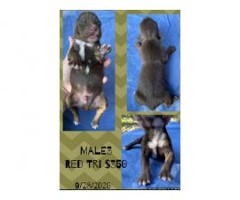 Males and Females Standard size Aussie puppies