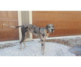 Merle Great Dane Puppy for good home