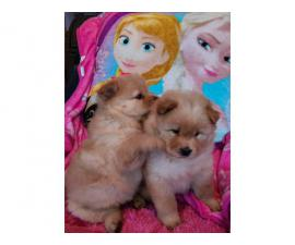 AKC registered chow puppies for sale