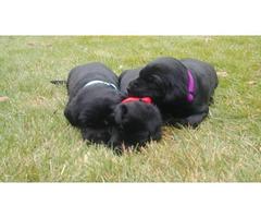 3 Black Lab Puppies for Adoption