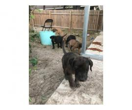 6 Daniff puppies looking for good homes