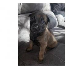 3 Beautiful Belgian Malinois for Sale