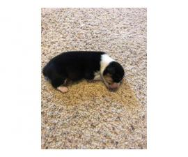 2 male Welsh Corgi puppies for Christmas