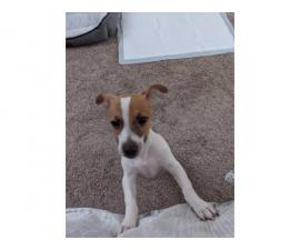 Registered Jack Russell puppy for sale
