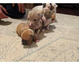 3 Girls 3 Boys left Purebred American Bully Puppies