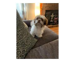Beautiful liver Shihtzu puppy