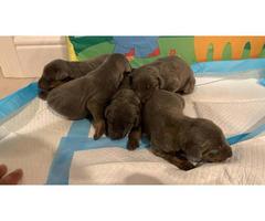 Doberman puppies 5 boys 5 girls