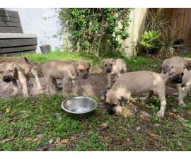 10 Black Mouth Cur Puppies for Sale