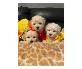 4 Shihpoo puppies available