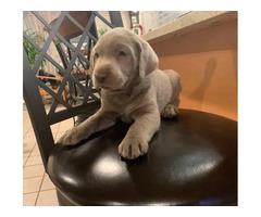 English Silver Labrador Puppy
