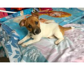 Adorable Tri Jack Russell Terrier Male