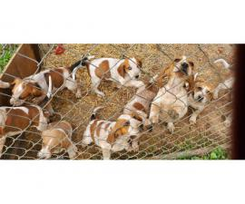 5 English Coonhound Puppies for Sale