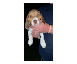 3 beagle puppies looking for their new home