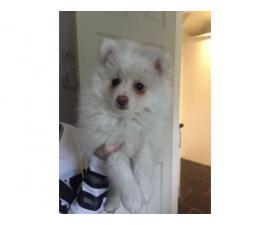 Meet our beautiful German Spitz girl